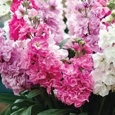 Fragrant Garden Plants Katz Pink Stock Seeds From Park Seed