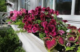 garden window boxes latest geraniums are ideal easy care plants