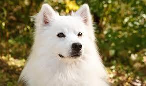 american eskimo dog brown american eskimo breed information