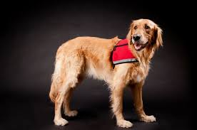 Comfort Dog Certificate The Four Legged Scandal No One Is Talking About The Dogington Post