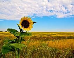salina ks sunflower field by kansas state university kansas excellent national archives at kansas city missouri with