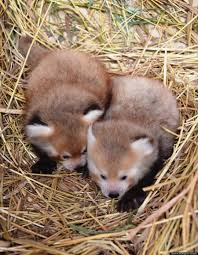 twin baby red pandas prove 2 baby animals is always cuter than 1