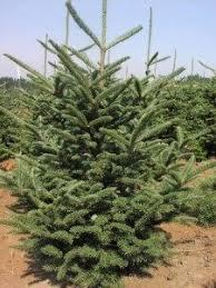 christmas trees severt u0027s tree farm 276 655 3969