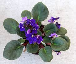 african violet grow light grow african violet from leaf cuttings a piece of rainbow
