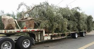 j s land services about large olive tree moving