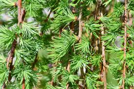 free images branch leaf flower evergreen botany fir