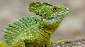 reptile eyes lizard wallpapers basilisk animal soul windows