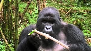Gorilla by Mountain Gorilla Feasting On Bamboo Youtube