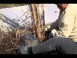 maintenance of ornamental grasses wmv