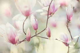 magnolia flowers magnolia flowers stock photo by mblach photodune