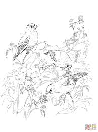 american goldfinches coloring page free printable coloring pages