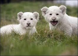 lions for sale beautiful charming cheetah lion and leopard cubs for sale dubai