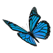 beautiful blue monarch butterfly stock image image of open