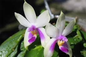 what is an orchid ecourls