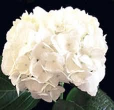 hydrangea white order wholesale jumbo white hydrangea wedding flowers