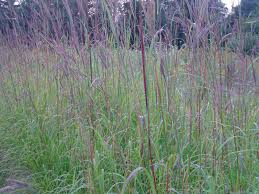 lovegrass farm andropogon gerardii big bluestem ornamental grass