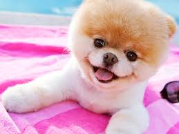 dog wallpapers boo the dog wallpaper collection 71