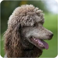 afghan hound poodle cross soyha adopted dog ile perrot qc standard poodle mix