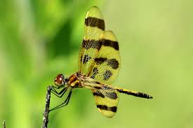 why are there so many dragonflies back yard biology
