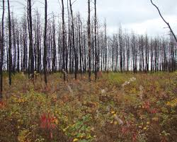 Minnesota forest images After 2014 fire a minnesota forest begins to rebound agweek jpg