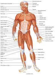Human Anatomy Diagram Download Human Body Parts Free Download Clip Art Free Clip Art On