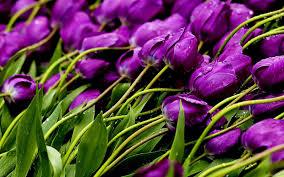 blumen lila images of blumen bilder tulpen hintergrundbilder sc
