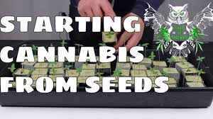 how to start growing cannabis from seeds learn how to grow
