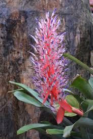 spectacular gingers u0026 other amazing exotic plants rare plants 129 best fleurs rares images on pinterest plants exotic flowers