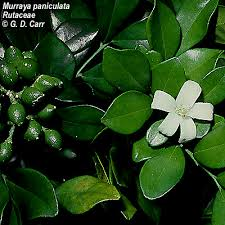Fragrant Plants Florida - shrubs to grow in florida