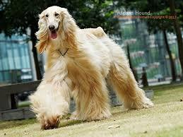 afghan hound apartment elegant dogs elegant and lively afghan hound 01 thumb elegant