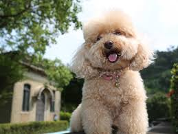 poodle x bichon frise the dog breeds that live the longest business insider