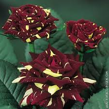 bulk roses pocus bulk roses 20 100 stems