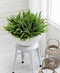 boston fern indoor plant in the white pot stunning indoor plants