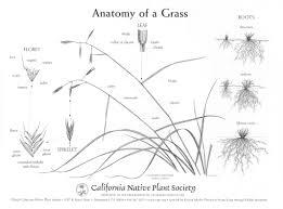 grassland native plants california native grasslands association how to key a grass