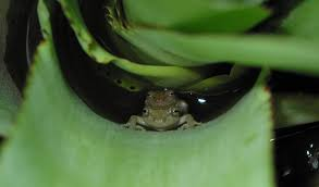 some frogs may have started laying eggs on land to get way from