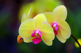 yellow orchids beautiful yellow phalaenopsis orchids stock image image of