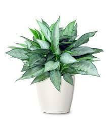 38 best indoor ornamental plants grown in philippines images on