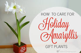 flower care how to care for amaryllis gift plants