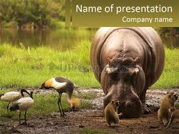 hippo bird animal powerpoint template free templates for