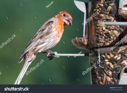 beautiful male house finch haemorhous mexicanus stock photo