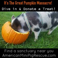 pumpkin feast mini pig fall healthy treat u0026 enrichment
