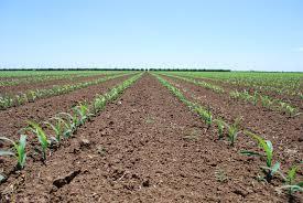 irrigated corn nebraska corn kernels corn emergence at 90