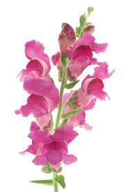 snapdragon flowers flower facts snapdragon antirrhinum grower direct fresh