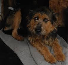 bearded collie x terrier bearded collie airedale terrier mix