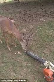 Youtube Backyard Fights Alabama Man Cools Down Deer With A Leaf Blower In His Backyard
