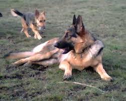 australian shepherd or german shepherd german shepherd dog kari neumeyer rhymes with safari