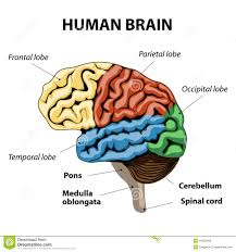 Human Physiology And Anatomy Pdf Human Anatomy Human Brain Anatomy It Is Made Up Of Many
