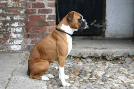 boxer dog health questions bmj blogs vet record blog dogs