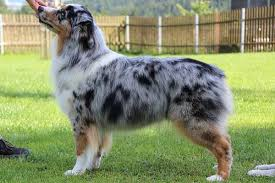 australian shepherd zucht deutschland australian shepherd welpen zucht agility