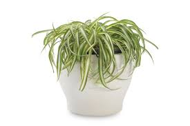 Spider Plant Buy Spider Plant